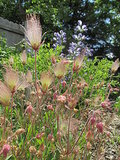 Great Design Plant: Geum Triflorum (3 photos)