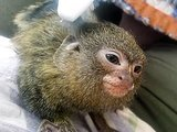 We're Feeling Super Relaxed Watching This Pygmy Marmoset Get a Massage