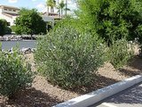 Great Design Plant: Simmondsia Chinensis (5 photos)