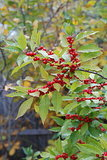 Great Design Plant: Winterberry Rouses Frosty Gardens (6 photos)