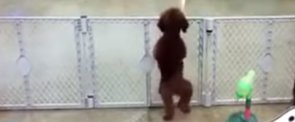 Watch This Adorable Puppy Drop It Like It's Hot