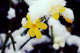 Great Design Plant: Winter Jasmine Gladdens Snowy Gardens (4 photos)