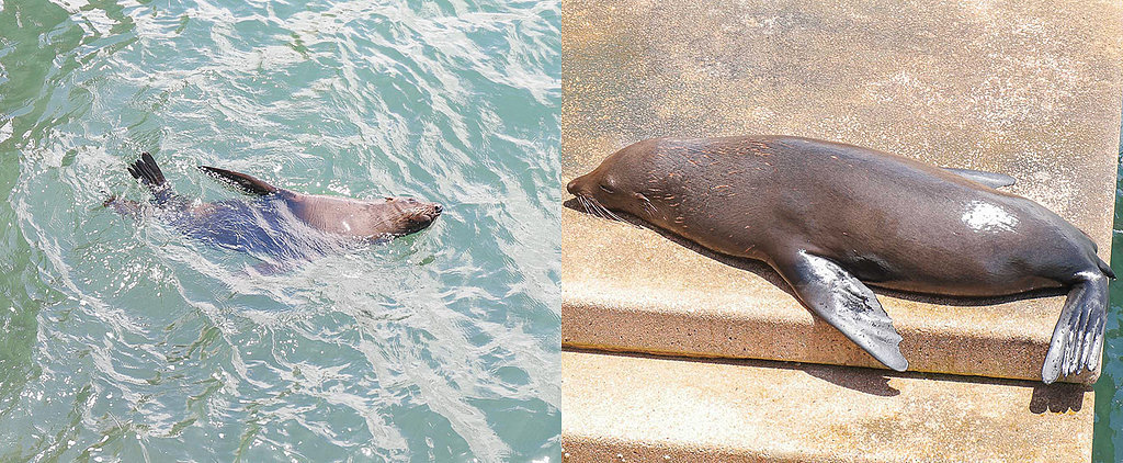 The Sydney Opera House Seal Is Back and Cuter Than Ever