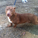 You Won't Believe This Dog: He's a Pit Bull-Dachshund Mix