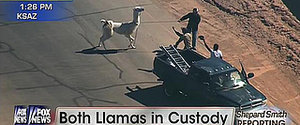 The Internet Is Freaking Out Over This Hilarious Llama Chase