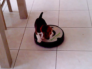 No One Puts Beagle in a Corner. Not Even Roombas (VIDEO)