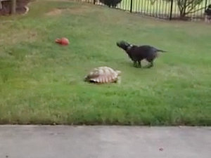 Clingy Tortoise Stalks Pit Bull Crush All Over The Yard (VIDEO)