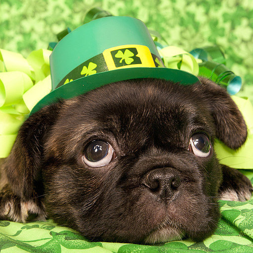 8 St. Patrick's Day Limericks as Written by Dogs