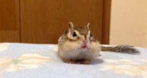 Chipmunk's Morning Stretches Are Too Cute