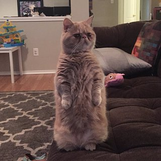 Cat Standing on Two Feet