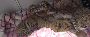 Stop What You're Doing and Watch These Tiger Babies Right Meow