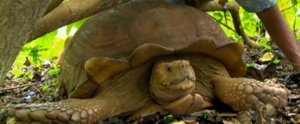 Check Out These HUGE Tortoises on This Week's Aloha Vet!