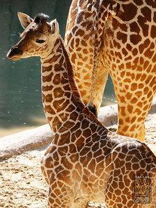 And the Dallas Zoo Baby Giraffe's Name Is ... (Plus: See an Adorable New Pic!)
