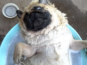 Blissful Pug in a Tub Redefines Relaxation