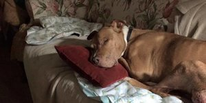 How A Dying Pit Bull Got A Beautiful Home For The End Of His Life