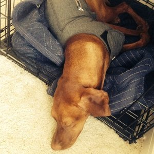 How We Help Our Vizsla With Her Severe Separation Anxiety