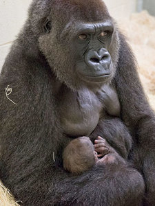 Kansas City Zoo Welcomes New Baby Gorilla, First in 40 Years