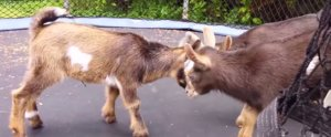 We're Kind of in Love With These Baby Goats Jumping on a Trampoline