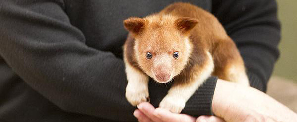 Orphaned Tree Kangaroo Saved by Surrogate Wallaby Mother