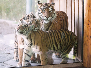 Tiger Cub Triplets Make Debut at Washington Zoo