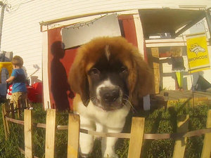 WATCH: This St. Bernard Puppy Is Ready for His Close-Up