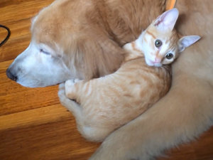 Watch This Kitten and Golden Retriever Odd Couple Grow Up Together