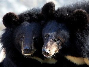 Man Mistakes Two Bear Cubs for Puppies, Raises Them for Two Years Before Finding Out the Truth