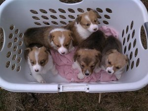 CORGI COLUMN: You Guys Are The Best, Here Are Some Puppy Pictures