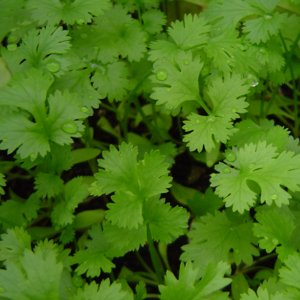 FDA Institutes Partial Ban on Mexican-Grown Cilantro