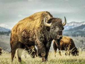 National Park Service Warns Visitors to Stop Bison Selfies After Woman Is Attacked