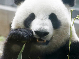 Panda Accused Of Faking Pregnancy To Get Better Food, Air Conditoning