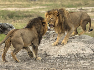 Cecil's Pridemate Jericho Is Helping Protect the Slain Lion's Cubs
