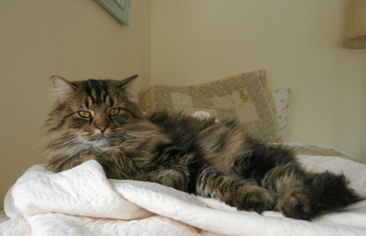 Maine Coon 8 Of The Most Expensive Cat Breeds Popsugar