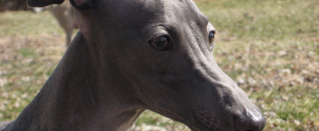 What Do You Know About Greyhounds?