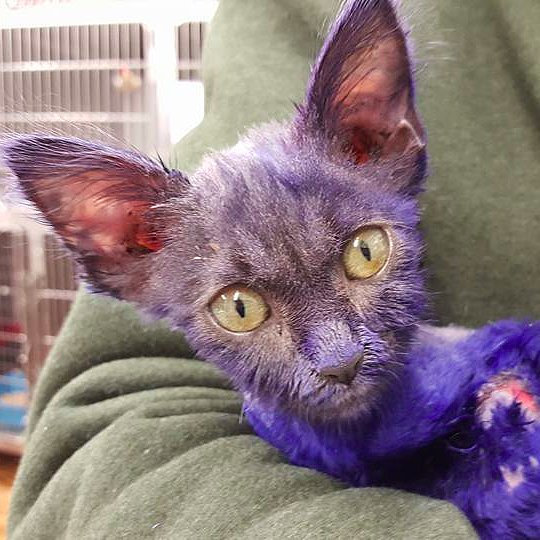 Cat Dyed Blue and Used as Chew Toy