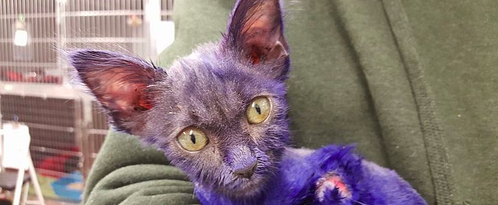 Kitten Rescued and Recovering After Being Dyed Blue and Used as Chew Toy