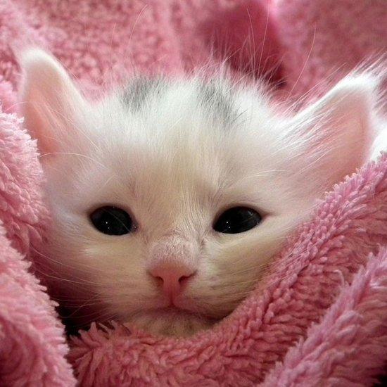 british shorthair cat breeders
