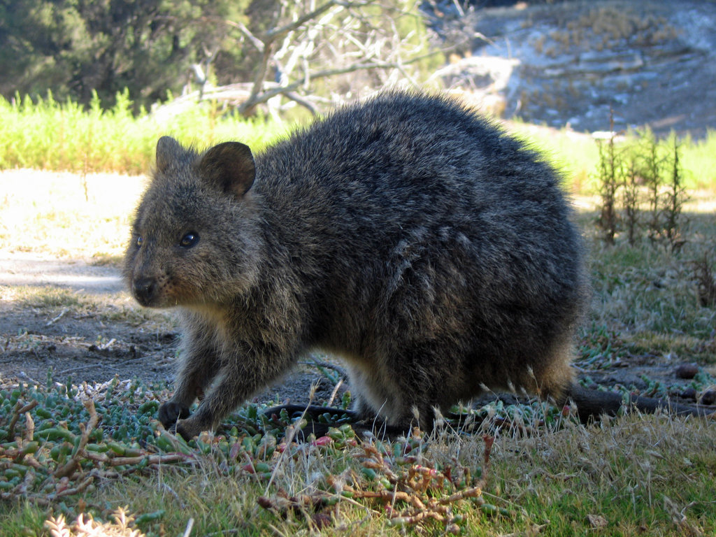 A quokka's diet consists of grasses, the leaves of small trees and shrubs, and succulent plants for moisture when water is scarce.