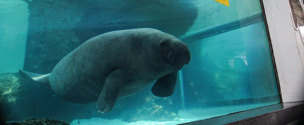 """The Manatees Have Spoken"": Florida Marine Mammals Pick the Super Bowl"