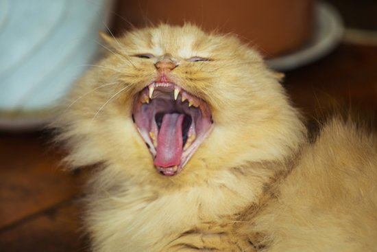 6 Signs That Your Cat Might Have Dental Disease