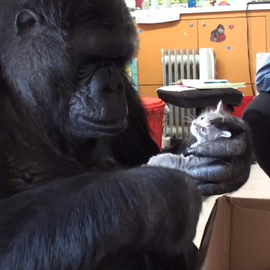Koko the Gorilla Adopts 2 Kittens | Video