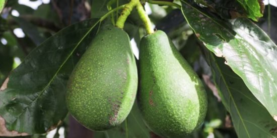 Avocados Are Named After Testicles, And We Officially Know Nothing
