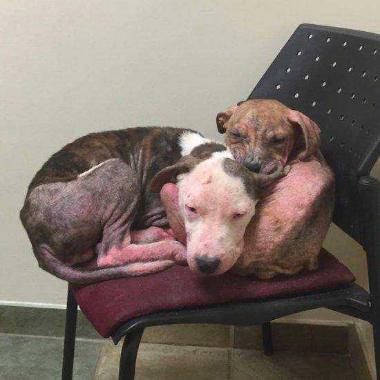 Abandoned Pit Bull Puppies Cuddling at Vet
