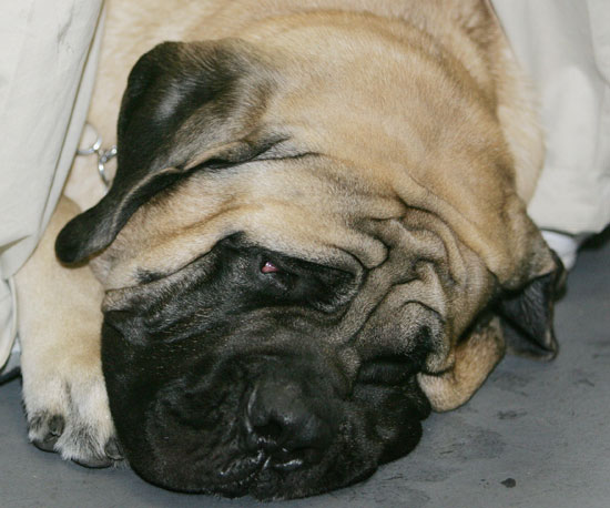 What Do You Know About Mastiffs?