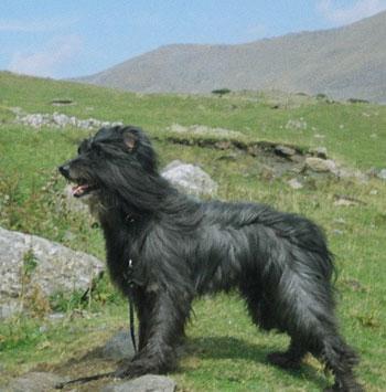 Herding Pup