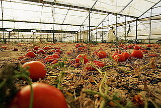 Northeastern Tomato Blight Caused by Home Gardening
