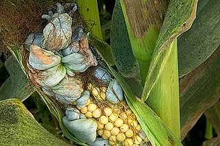 What Is Huitlacoche?
