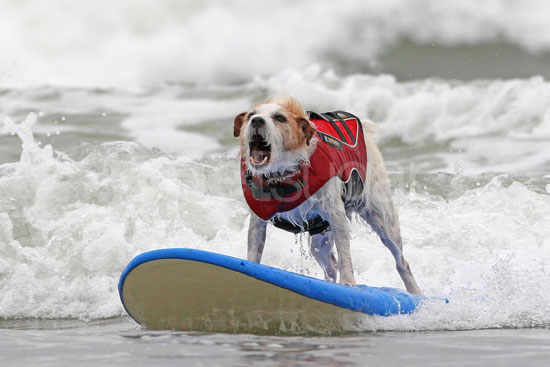 4th Annual Dog Surfing Competition