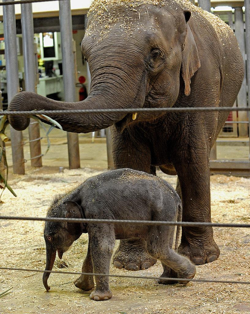 Taronga Zoo's Baby Elephant!