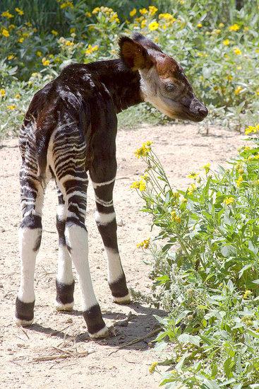 Have You Ever Seen an Okapi?